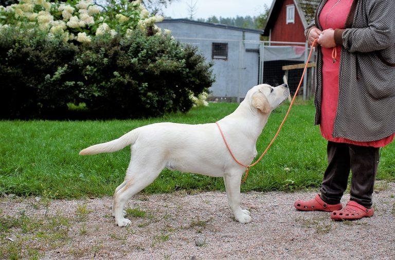labradorinnoutajan esittäminen